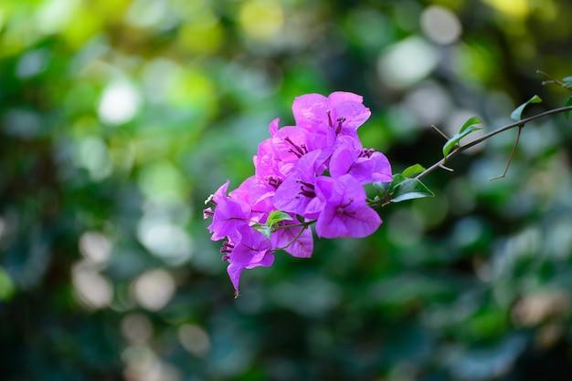 Розовый цветок бугенвиллеи или бумажный цветок с листьями