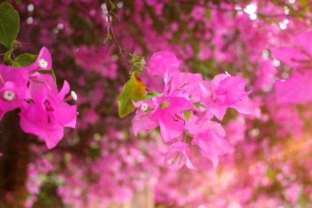 Розовые цветы бугенвиллии в саду