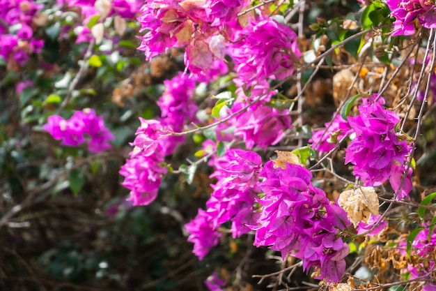Pink bougainvillea flowers in the outdoor at taiwan