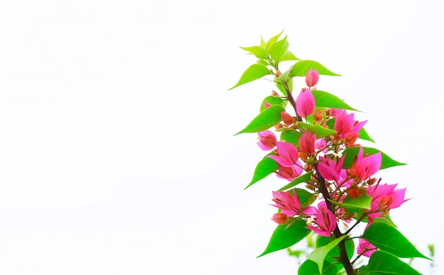 Pink bougainvillea flowers or paper flowers in garden