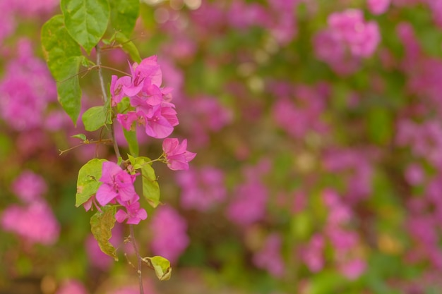 Pink bougainvillea glabra flower beautiful summer nature background