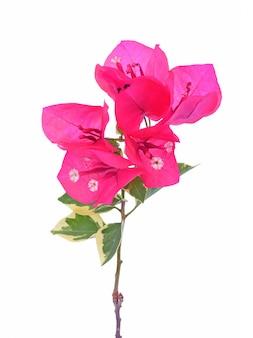 白で隔離されるピンクのブーゲンビリア