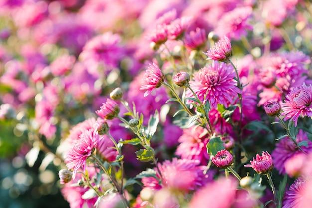 庭、選択と集中で晴れた日にピンクの明るい菊の花
