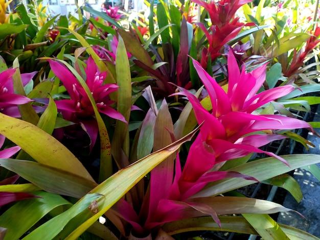 Бромелия розовая neoregelia на рынке декоративных растений