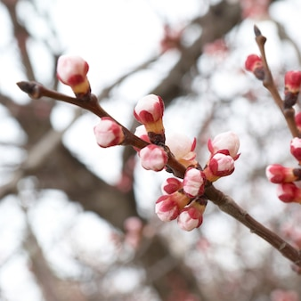 Pink buds on the almond branch tree
