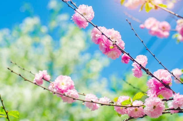Pink bush blossoms in spring with pink flowers and blue sky. natural wallpaper.