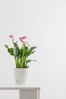 흰색 바탕에 꽃 냄비에 핑크 칼라 릴리
