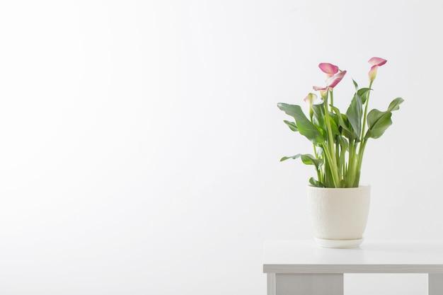 흰색 바탕에 꽃 냄비에 핑크 칼라 릴리 프리미엄 사진