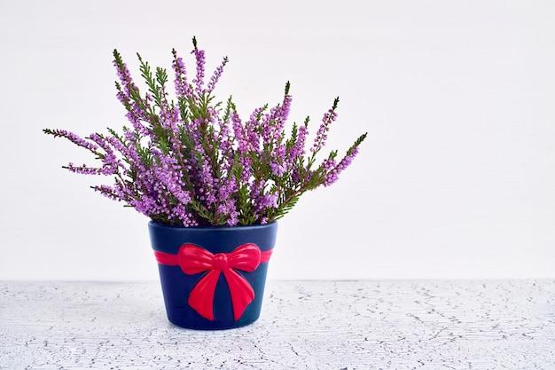 Pink calluna vulgaris or common heather flowers in decorative flower pot. copy space