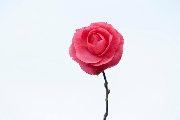 ピンクの椿の花。孤立。白色の背景