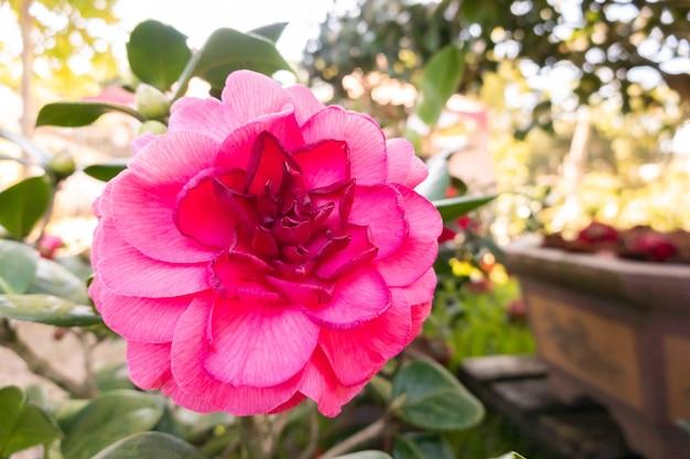 Розовые цветы камелии в саду на открытом воздухе