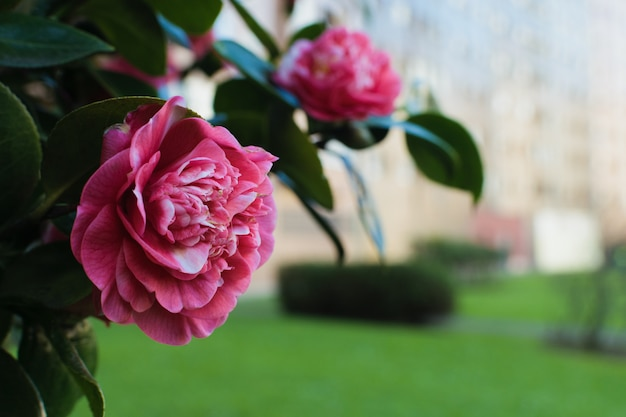Pink camellia  with blurred park and buildings background