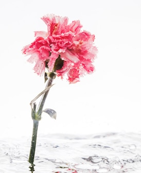 Pink carnation falling into water