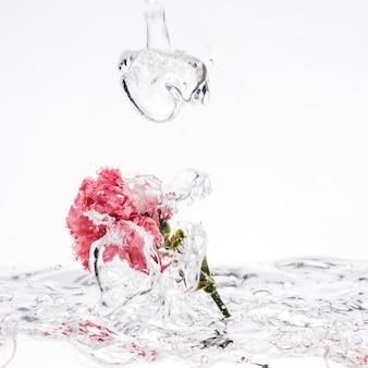 Pink carnation falling into water