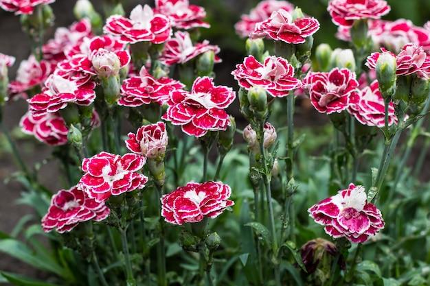 여름 정원에서 핑크 카네이션 꽃. 패랭이꽃 caryophyllus.