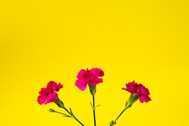 Pink carnation flowers on yellow backgraund. top view