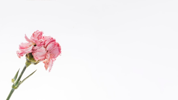Pink carnation over white background