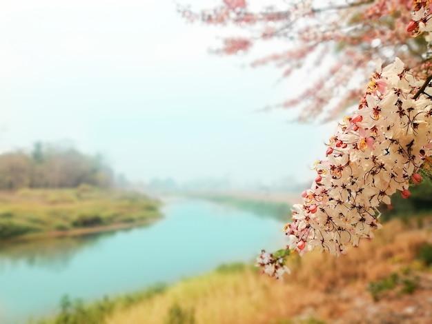 ピンクのカッシアまたはピンクのシャワー。川と青い空を背景に花が咲いています