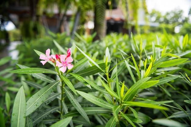 Розовый цветок catharanthus roseus на свежих зеленых листьях с росами дождевой воды после дождя в курортном парке.
