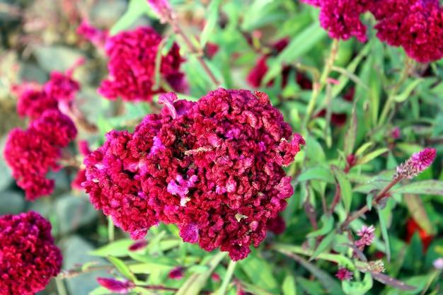 ピンクのケイトウの花が野生植物をクローズアップ