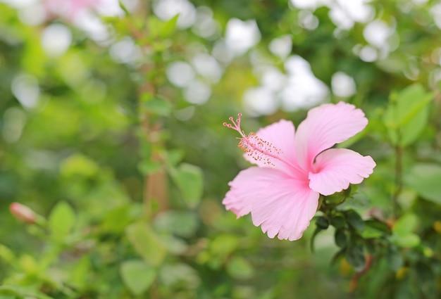 Pink chaba (hibiscus) flower under sunlight in the green garden.