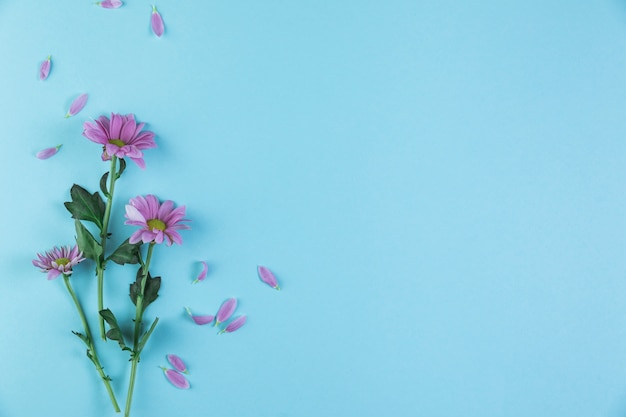 Pink chamomile flower twigs on blue background