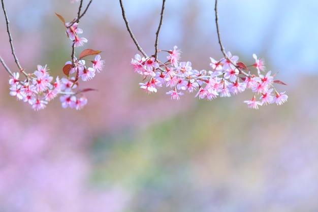 태국 북부 치앙마이의 분홍색 벚꽃 꽃다발