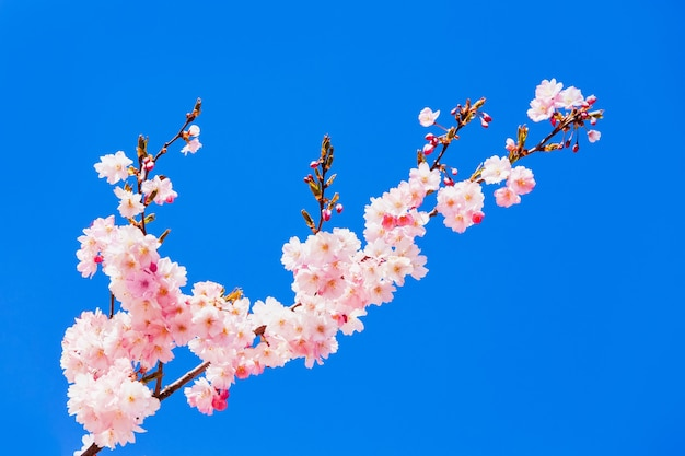 Pink cherry blossom branch in bloom against blue sky. copy space, selective focus