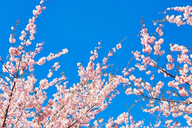 Pink cherry blossom branch in bloom against blue sky. spring concept. copy space, selective focus