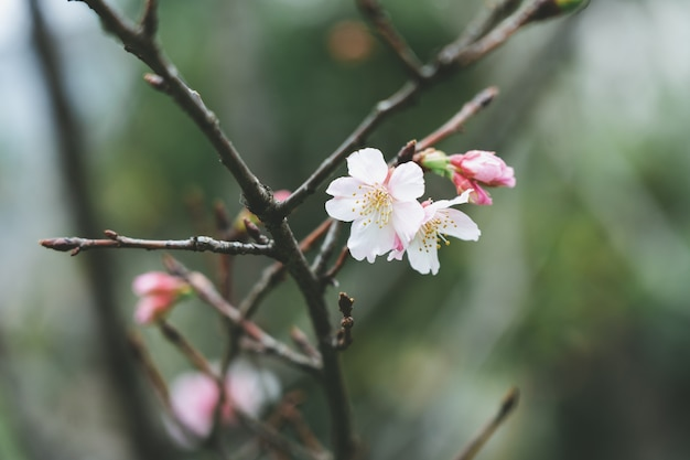 Pink cherry blossom(cherry blossom, japanese flowering cherry) on the sakura tree.