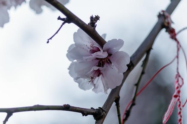 Розовые цветы вишни, цветущие на дереве