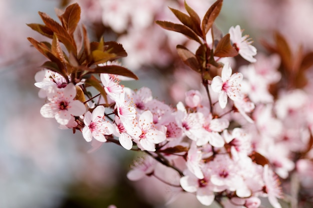 Pink cherry blossom flowers blooming on a tree