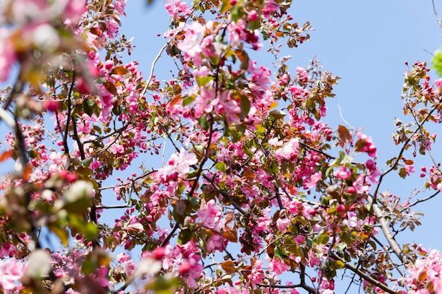 Розовые цветы сакуры весной