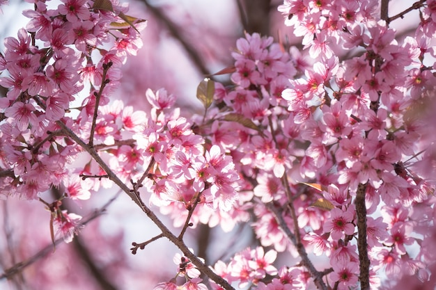 Pink cherry blossom flowers at park.
