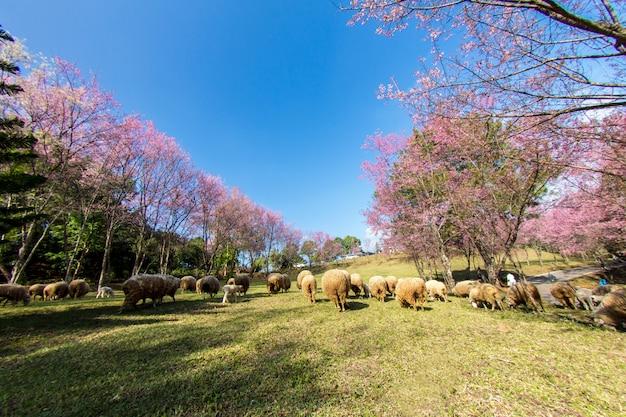 핑크 벚꽃 꽃, 태국 북쪽에서 야생 히말라야 체리 (벚나무 cerasoides)
