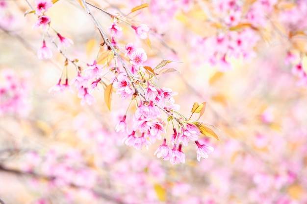 Pink cherry blossom flowers, wild himalayan cherry  ( prunus cerasoides ) at north of thailand