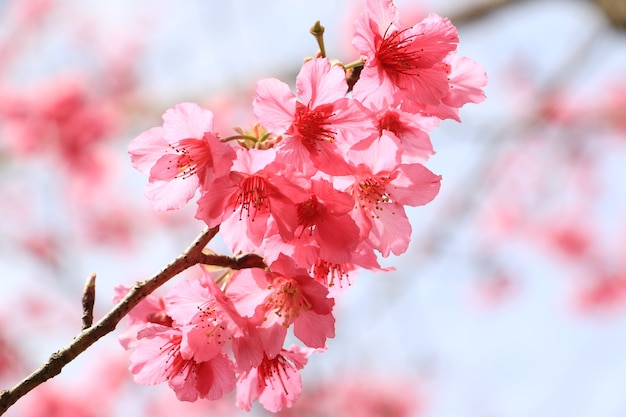 Pink cherry blossom in the garden sakura.