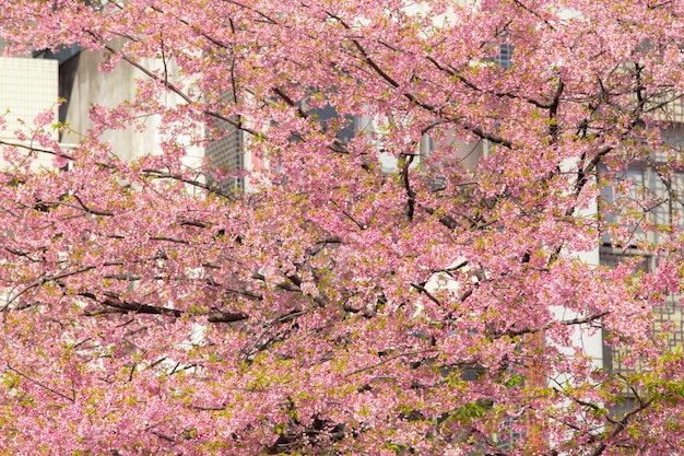 Pink cherry blossom in japan