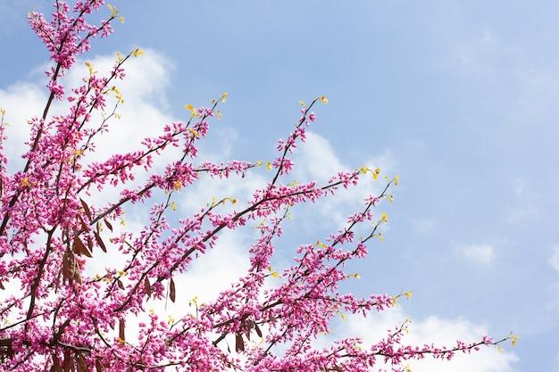 Розовая вишня на фоне голубого неба с солнцем