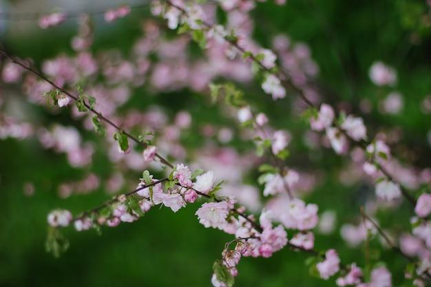 봄에는 분홍색 벚꽃 또는 사쿠라 꽃.