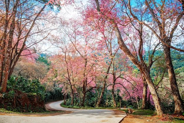 Pink cherry blossom path through a beautiful curve road , chiang mai , thailand