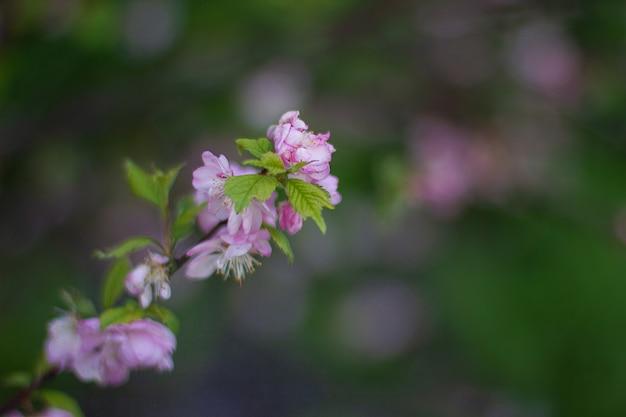Pink cherry blossom or sakura flower in spring.