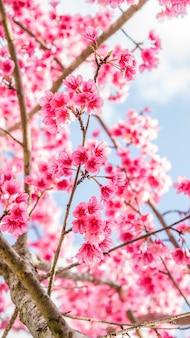 Pink cherry blossom (sakura) in a garden