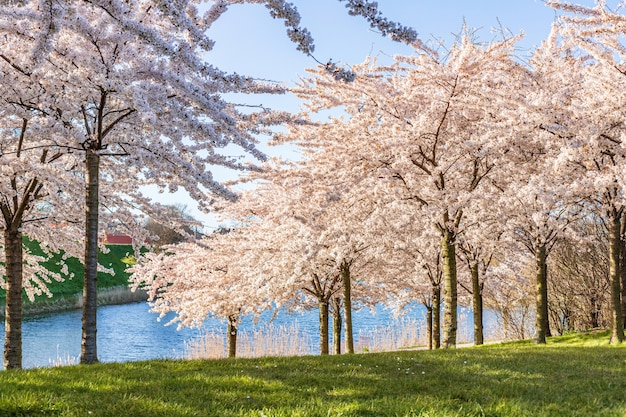 Розовая вишня (сакура) в парке