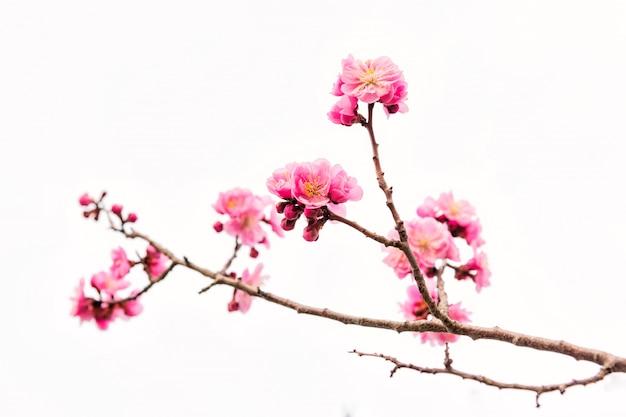 Pink cherry blossom or sakura isolated on white