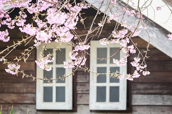 Pink cherry .blossom with Thailand house behind