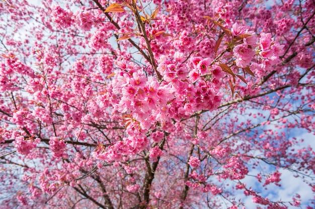 Розовый цветок сакуры