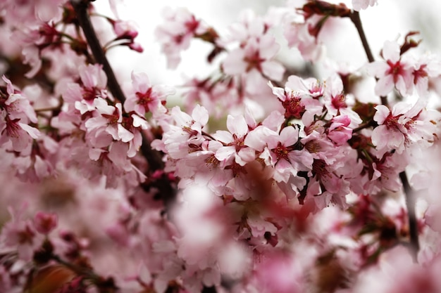 Pink cherry blossoms in garden outdoors