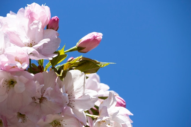 Розовая вишня на ветке дерева на фоне голубого неба, весенний цветочный фон