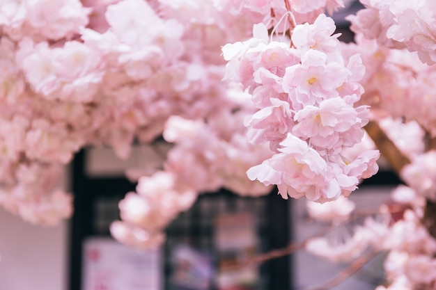 Pink cherry blossoms or sakura in japanese with japanese old tourist town